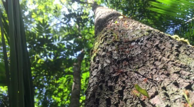 Amazon'da Yeni Ağaçlar Keşfedildi