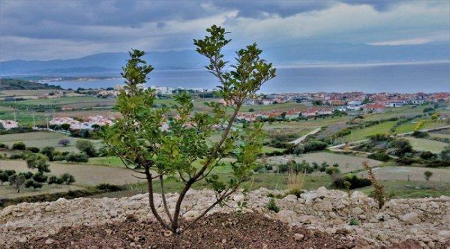 İzmir Çeşme'de 20 Bin Sakız Fidanı Daha Toprakla Buluşacak