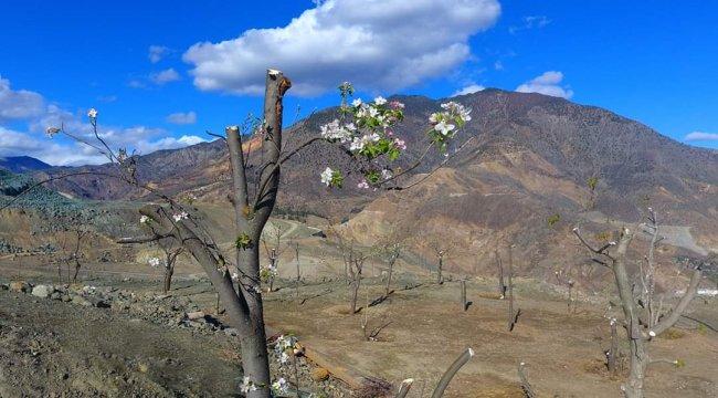 Yusufeli İlçesinin Eski Yerleşim Yerinden Sökülerek Yeni Yerleşim Yerine Taşınan Meyve Ağaçları Çiçeklerini Açtı