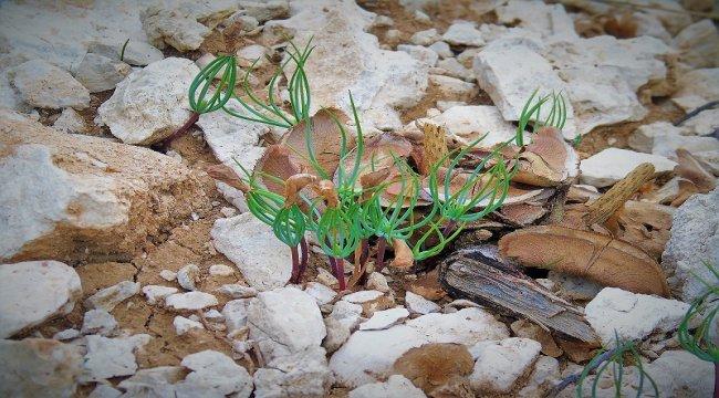 Torosların Süsü Sedir Ağacı Tohumları Toprakla Buluştu
