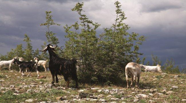 Orman Köylüsünün Can Kurtaranı Planlı Otlatma
